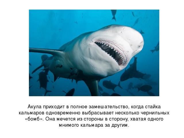 Акула приходит в полное замешательство, когда стайка кальмаров одновременно выбрасывает несколько чернильных «бомб». Она мечется из стороны в сторону, хватая одного мнимого кальмара за другим.