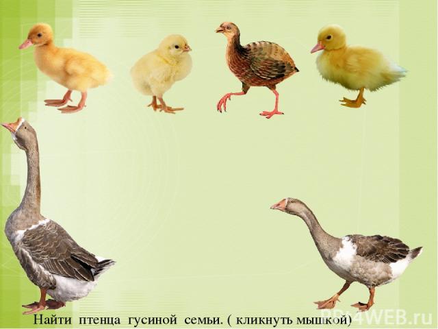 Найти птенца гусиной семьи. ( кликнуть мышкой)
