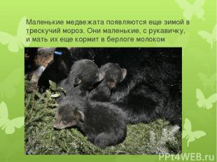 Маленькие медвежата появляются еще зимой в трескучий мороз. Они маленькие, с рук
