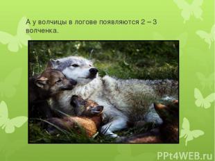 А у волчицы в логове появляются 2 – 3 волченка.