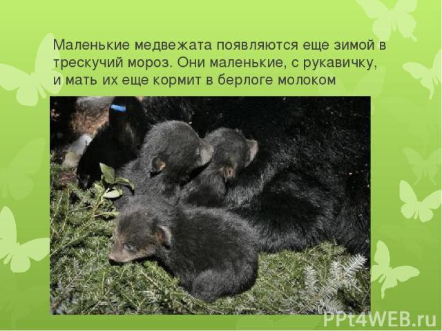 Маленькие медвежата появляются еще зимой в трескучий мороз. Они маленькие, с рукавичку, и мать их еще кормит в берлоге молоком