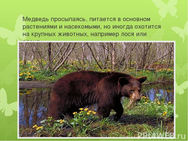 Медведь просыпаясь, питается в основном растениями и насекомыми, но иногда охотится на крупных животных, например лося или оленя.
