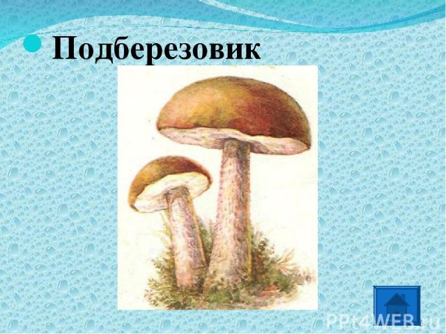 Подберезовик *