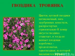 ГВОЗДИКА ТРОВЯНКА Цветок луговой гвоздики пятиконечный, пять зазубренных лепестк