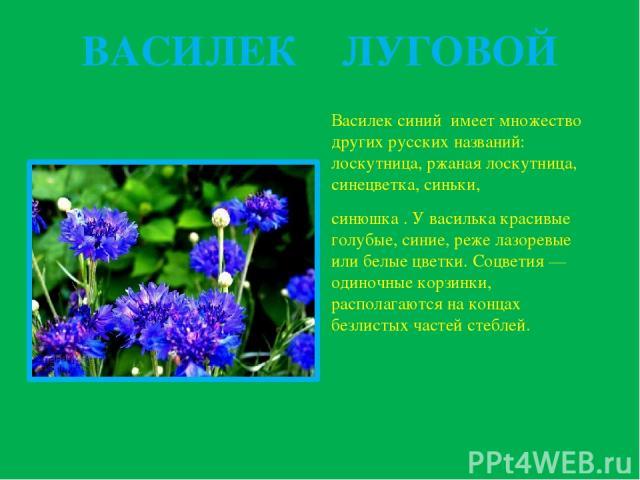 ВАСИЛЕК ЛУГОВОЙ Василек синий имеет множество других русских названий: лоскутница, ржаная лоскутница, синецветка, синьки, синюшка . У василька красивые голубые, синие, реже лазоревые или белые цветки. Соцветия — одиночные корзинки, располагаются на …
