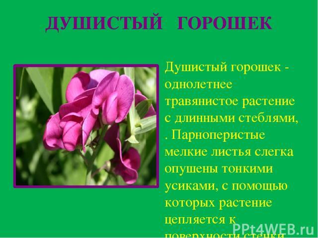 ДУШИСТЫЙ ГОРОШЕК Душистый горошек - однолетнее травянистое растение с длинными стеблями, . Парноперистые мелкие листья слегка опушены тонкими усиками, с помощью которых растение цепляется к поверхности стенки или ограждения. Цветки имеют неправильну…
