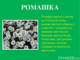РОМАШКА Ромашка цветет с весны до глубокой осени, мелкие цветки собраны в соцвет