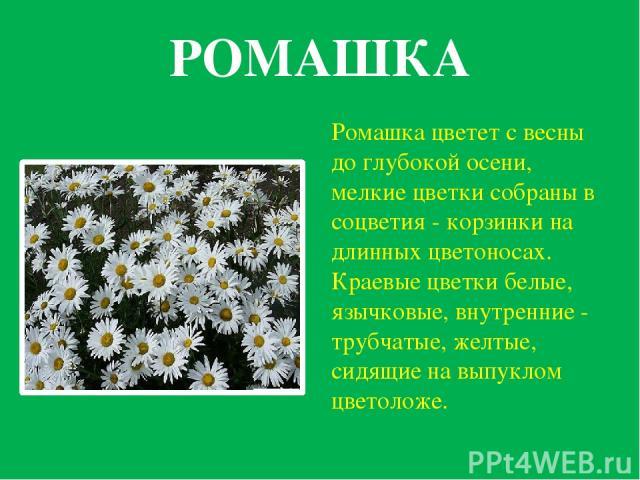 РОМАШКА Ромашка цветет с весны до глубокой осени, мелкие цветки собраны в соцветия - корзинки на длинных цветоносах. Краевые цветки белые, язычковые, внутренние - трубчатые, желтые, сидящие на выпуклом цветоложе.