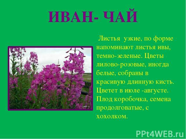 ИВАН- ЧАЙ Листья узкие, по форме напоминают листья ивы, темно-зеленые. Цветы лилово-розовые, иногда белые, собраны в красивую длинную кисть. Цветет в июле -августе. Плод коробочка, семена продолговатые, с хохолком.