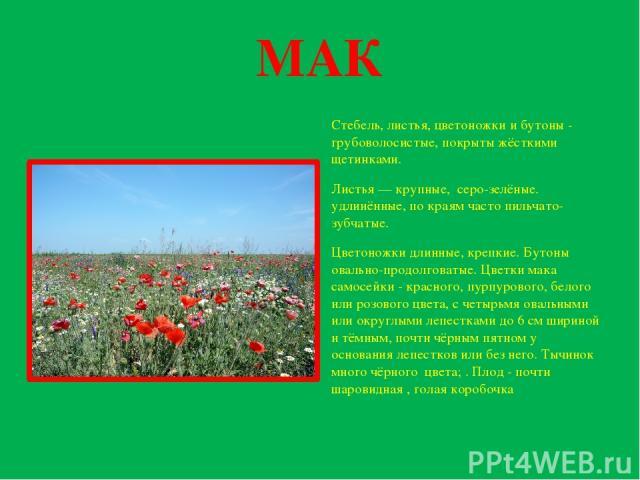 МАК Стебель, листья, цветоножки и бутоны - грубоволосистые, покрыты жёсткими щетинками. Листья — крупные, серо-зелёные. удлинённые, по краям часто пильчато-зубчатые. Цветоножки длинные, крепкие. Бутоны овально-продолговатые. Цветки мака самосейки - …