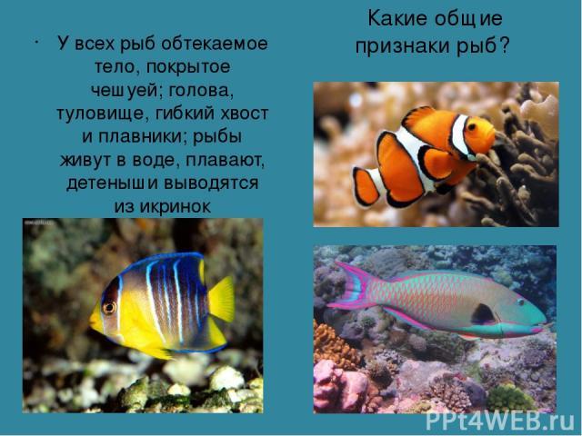 Какие общие признаки рыб? У всех рыб обтекаемое тело, покрытое чешуей; голова, туловище, гибкий хвост и плавники; рыбы живут в воде, плавают, детеныши выводятся из икринок