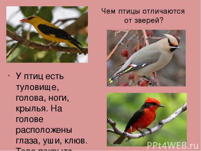 Чем птицы отличаются от зверей? У птиц есть туловище, голова, ноги, крылья. На голове расположены глаза, уши, клюв. Тело покрыто перьями. Птицы умеют летать. Птенцы вылупляются из яиц.
