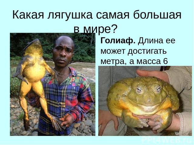 Какая лягушка самая большая в мире? Голиаф. Длина ее может достигать метра, а масса 6 кг).
