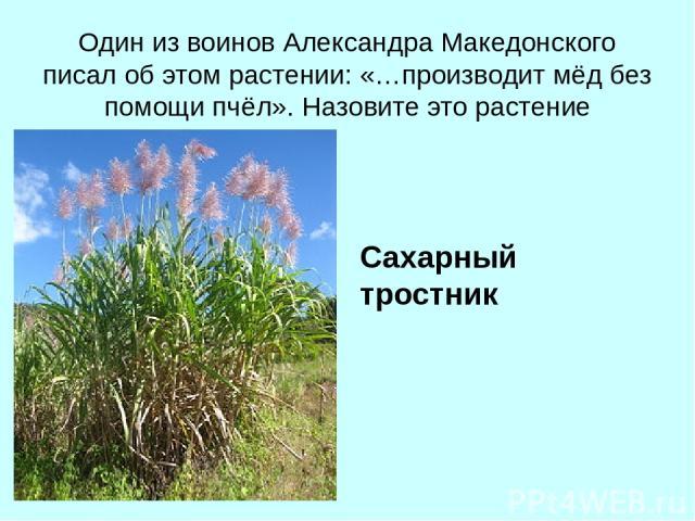 Один из воинов Александра Македонского писал об этом растении: «…производит мёд без помощи пчёл». Назовите это растение Сахарный тростник