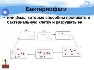 Бактериофаги или фаги, которые способны проникать в бактериальную клетку и разру