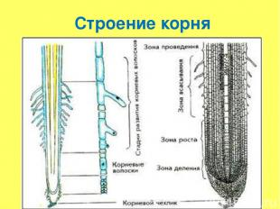 Строение корня