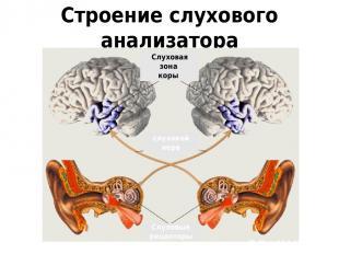 Строение слухового анализатора Слуховые рецепторы слуховой нерв Слуховая зона ко