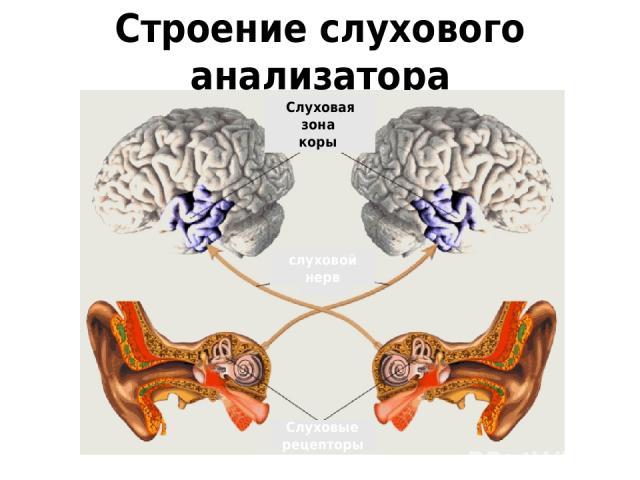 Строение слухового анализатора Слуховые рецепторы слуховой нерв Слуховая зона коры