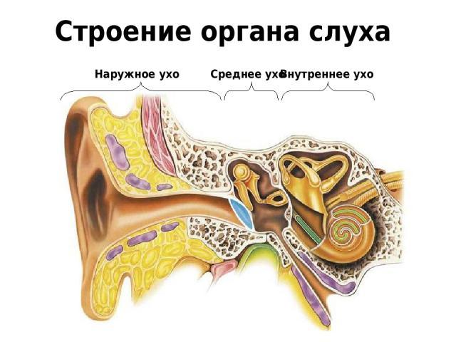 Строение органа слуха Внутреннее ухо Среднее ухо Наружное ухо