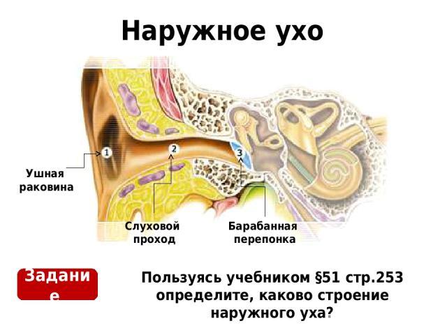 Наружное ухо Пользуясь учебником §51 стр.253 определите, каково строение наружного уха? Ушная раковина Слуховой проход Барабанная перепонка Задание