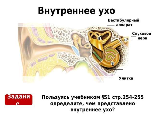 Внутреннее ухо Пользуясь учебником §51 стр.254-255 определите, чем представлено внутреннее ухо? Задание Слуховой нерв Улитка Вестибулярный аппарат