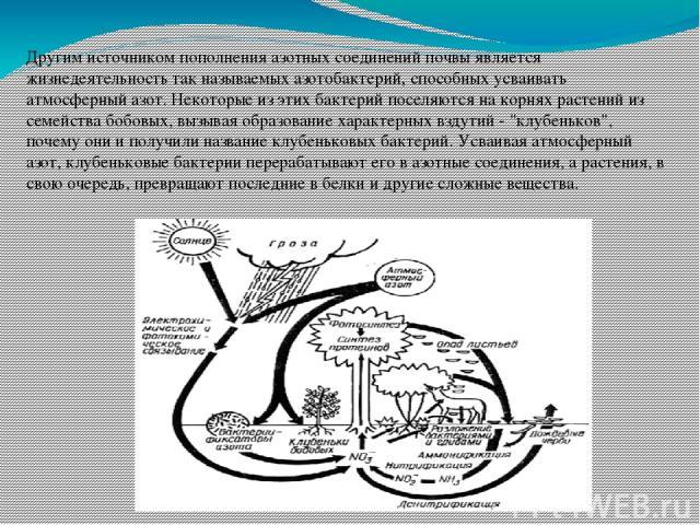 Другим источником пополнения азотных соединений почвы является жизнедеятельность так называемых азотобактерий, способных усваивать атмосферный азот. Некоторые из этих бактерий поселяются на корнях растений из семейства бобовых, вызывая образование х…