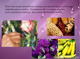 Классическими методами селекции растений были и остаются гибридизация и отбор. Р