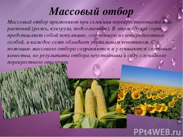 Массовый отбор Массовый отборприменяют при селекции перекрестноопыляемых растений (рожь, кукуруза, подсолнечник). В этом случае сорт представляет собой популяцию, состоящую из гетерозиготных особей, и каждое семя обладает уникальным генотипом. С по…