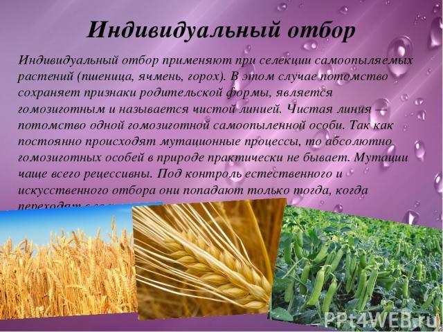 Индивидуальный отбор Индивидуальный отборприменяют при селекции самоопыляемых растений (пшеница, ячмень, горох). В этом случае потомство сохраняет признаки родительской формы, является гомозиготным и называется чистой линией.Чистая линия— потомст…