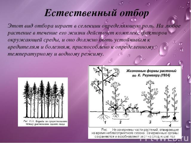 Естественный отбор Этот вид отбора играет в селекции определяющую роль. На любое растение в течение его жизни действует комплекс факторов окружающей среды, и оно должно быть устойчивым к вредителям и болезням, приспособлено к определенному температу…