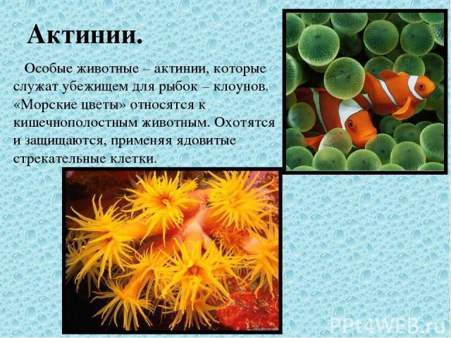 Актинии. Особые животные – актинии, которые служат убежищем для рыбок – клоунов. «Морские цветы» относятся к кишечнополостным животным. Охотятся и защищаются, применяя ядовитые стрекательные клетки.