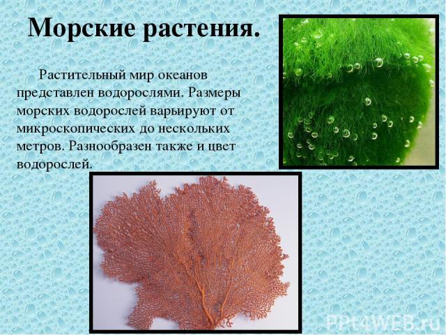 Морские растения. Растительный мир океанов представлен водорослями. Размеры морских водорослей варьируют от микроскопических до нескольких метров. Разнообразен также и цвет водорослей.