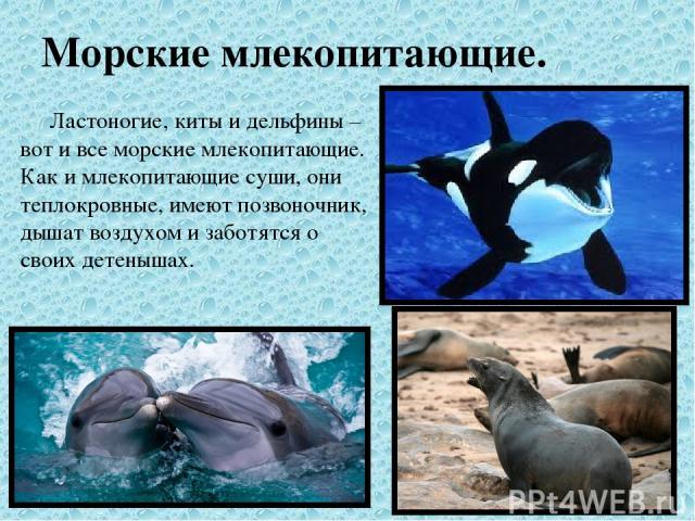 Морские млекопитающие. Ластоногие, киты и дельфины – вот и все морские млекопитающие. Как и млекопитающие суши, они теплокровные, имеют позвоночник, дышат воздухом и заботятся о своих детенышах.