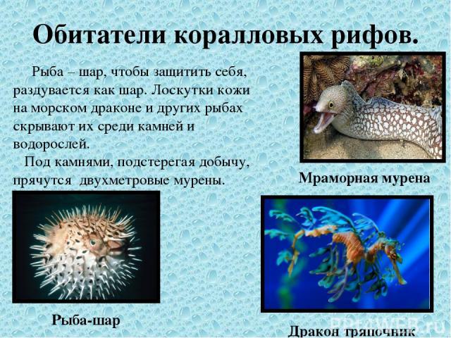 Обитатели коралловых рифов. Рыба – шар, чтобы защитить себя, раздувается как шар. Лоскутки кожи на морском драконе и других рыбах скрывают их среди камней и водорослей. Под камнями, подстерегая добычу, прячутся двухметровые мурены. Рыба-шар Дракон т…