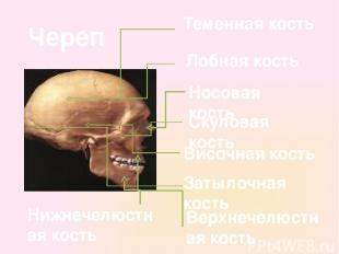Теменная кость Височная кость Лобная кость Затылочная кость Носовая кость Верхне