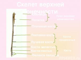 Скелет верхней конечности Ключица Лопатка Плечевая кость Локтевая кость Лучевая