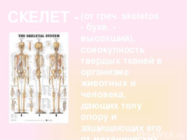 СКЕЛЕТ - (от греч. skeletos - букв. - высохший), совокупность твердых тканей в организме животных и человека, дающих телу опору и защищающих его от механических повреждений.