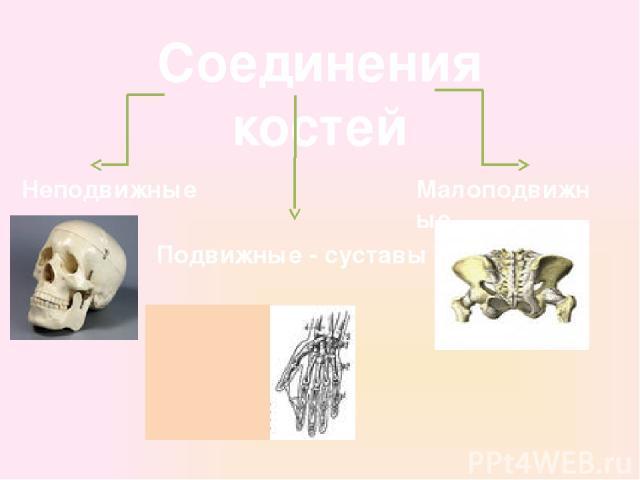 Соединения костей Неподвижные Подвижные - суставы Малоподвижные