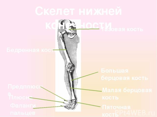 Скелет нижней конечности Тазовая кость Бедренная кость Большая берцовая кость Малая берцовая кость Предплюсна Плюсна Фаланги пальцев Пяточная кость