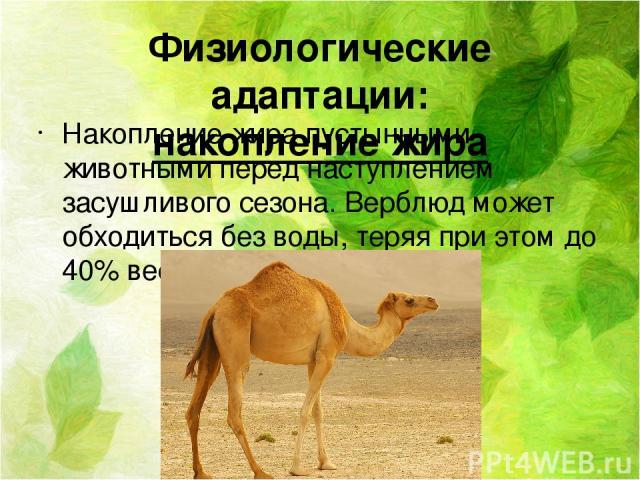 Физиологические адаптации: накопление жира Накопление жира пустынными животными перед наступлением засушливого сезона. Верблюд может обходиться без воды, теряя при этом до 40% веса тела.