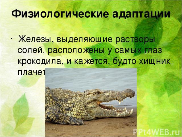 Физиологические адаптации Железы, выделяющие растворы солей, расположены у самых глаз крокодила, и кажется, будто хищник плачет.