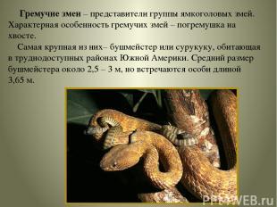 Гремучие змеи – представители группы ямкоголовых змей. Характерная особенность г