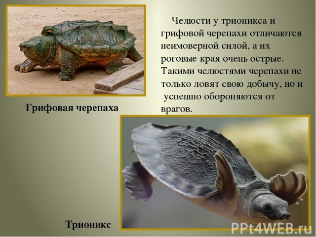 Грифовая черепаха Трионикс Челюсти у трионикса и грифовой черепахи отличаются неимоверной силой, а их роговые края очень острые. Такими челюстями черепахи не только ловят свою добычу, но и успешно обороняются от врагов.