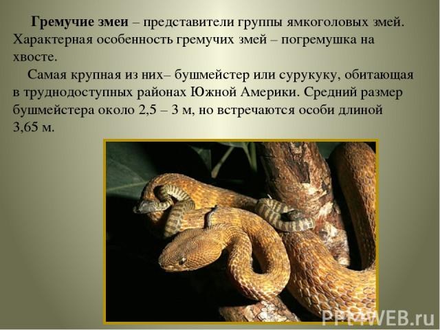 Гремучие змеи – представители группы ямкоголовых змей. Характерная особенность гремучих змей – погремушка на хвосте. Самая крупная из них– бушмейстер или сурукуку, обитающая в труднодоступных районах Южной Америки. Средний размер бушмейстера около 2…