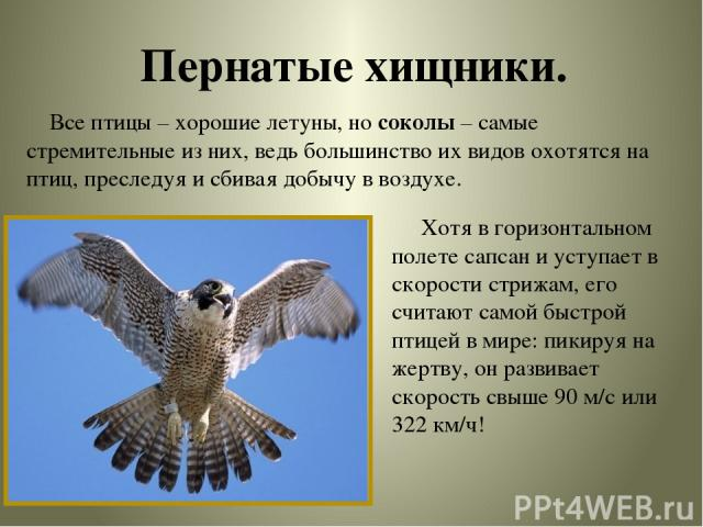Пернатые хищники. Все птицы – хорошие летуны, но соколы – самые стремительные из них, ведь большинство их видов охотятся на птиц, преследуя и сбивая добычу в воздухе. Хотя в горизонтальном полете сапсан и уступает в скорости стрижам, его считают сам…