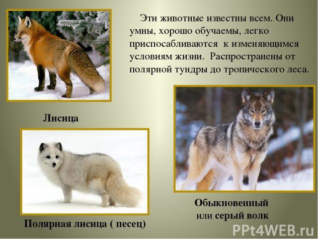 Эти животные известны всем. Они умны, хорошо обучаемы, легко приспосабливаются к изменяющимся условиям жизни. Распространены от полярной тундры до тропического леса. Лисица Полярная лисица ( песец) Обыкновенный или серый волк