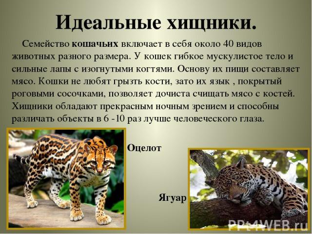 Идеальные хищники. Семейство кошачьих включает в себя около 40 видов животных разного размера. У кошек гибкое мускулистое тело и сильные лапы с изогнутыми когтями. Основу их пищи составляет мясо. Кошки не любят грызть кости, зато их язык , покрытый …