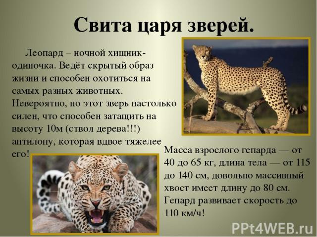 Свита царя зверей. Масса взрослого гепарда — от 40 до 65 кг, длина тела — от 115 до 140 см, довольно массивный хвост имеет длину до 80 см. Гепард развивает скорость до 110 км/ч! Леопард – ночной хищник-одиночка. Ведёт скрытый образ жизни и способен …
