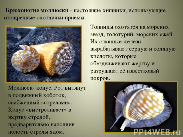 Брюхоногие моллюски - настоящие хищники, использующие изощренные охотничьи приемы. Тонниды охотятся на морских звезд, голотурий, морских ежей. Их слюнные железы вырабатывают серную и соляную кислоты, которые обездвиживают жертву и разрушают её извес…