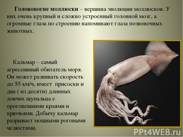 Головоногие моллюски – вершина эволюции моллюсков. У них очень крупный и сложно устроенный головной мозг, а огромные глаза по строению напоминают глаза позвоночных животных. Кальмар – самый агрессивный обитатель моря. Он может развивать скорость до …